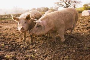 Cómo conseguir un cerdo para comer más y subir de peso
