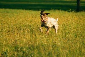Los efectos de un silbato para perros en perros
