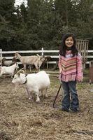 ¿Con qué frecuencia Gusano una cabra enana?