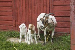 Cómo tratar la mastitis en una cabra