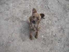 Chin acné en un canino