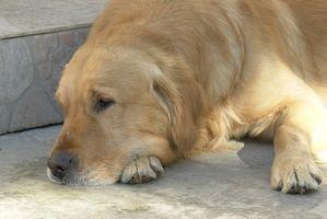 Cáncer canino en perros perdigueros de oro