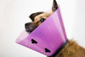 Cómo poner un collar isabelino en un perro después de la cirugía