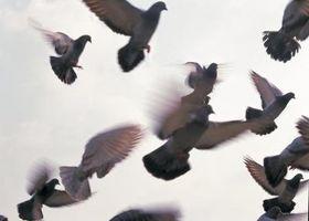 Cómo atrapar palomas por disposición en la noche