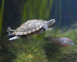 Cómo crear un hábitat en el hogar para una tortuga del Cooter de río del Este