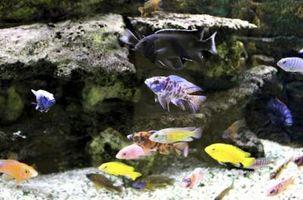 ¿Cuáles son buenos compañeros de acuario con cíclidos africanos?