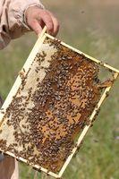¿Qué tan difícil es la apicultura?