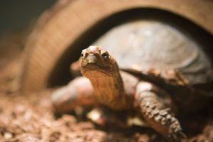 El cuidado de una tortuga de mascotas
