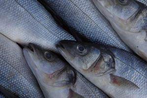 Cómo saber si un pez beta está embarazada