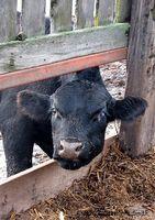 La sal será curar el ojo rosado de una vaca?