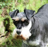 Negro de la caspa en los perros