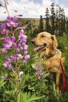 Las razones para la comezón en los oídos en perros