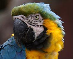 Cómo comprar un pájaro Guacamayo en Australia
