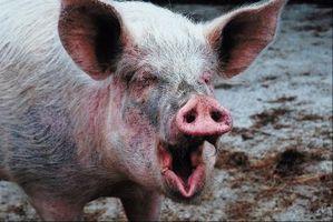 Cómo calmar un cerdo