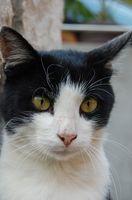 Cómo obtener una muestra de orina del gato al veterinario