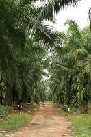 ¿Cuáles son los beneficios del aceite de palma africana?