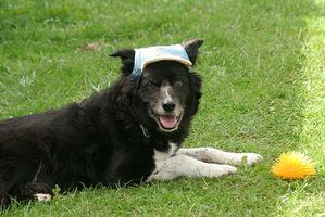 Cosas que puede hacer para deshacerse de las pulgas en las mascotas Sin Toxinas