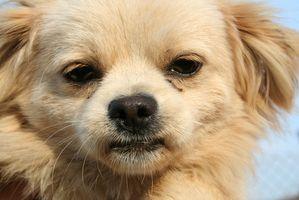 Los síntomas de la diabetes canina en un perro