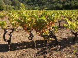 Cómo cultivar uvas de vino en Virginia
