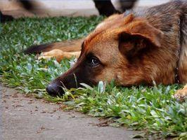 Ayuda homeopático para las infecciones del oído del perro