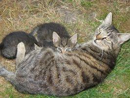 ¿Qué puedo alimentar a mi gato para asegurarse que ella produce suficiente leche para los gatitos?