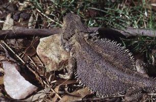 ¿De qué manera dragones barbudos ahuyentar a los depredadores?