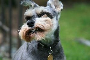 Los tipos de alimentos que los perros Schnauzer Mini Coma