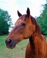 Asesoramiento gratuito y tratamiento de úlceras de la boca de los caballos