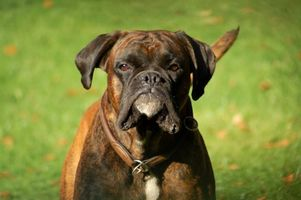 Cómo saber cuando mi boxeador va a tener cachorros?
