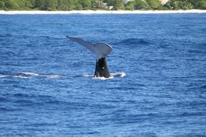 Excursiones para observar ballenas en Maui, Hawaii