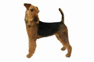 No Shed Airedales?