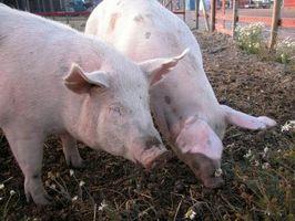 Una protuberancia del recto en los cerdos