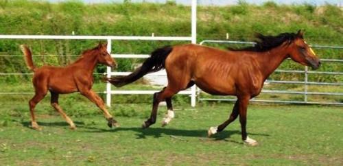 Información sobre Foaling caballo