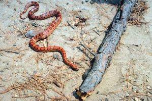 Cómo ayudar a su serpiente de maíz Shed