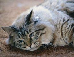 Cómo mantener a los gatos fresca en una ola de calor