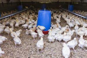 ¿Cuáles son los Bichos negros en el fondo de las granjas de pollos?