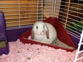 La infección de vejiga de conejo
