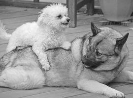 ¿Cómo es que mi perrito es agresivo hacia Mi perro más viejo?