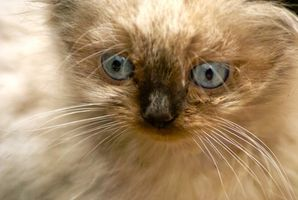 Alergias a los gatos Himalaya