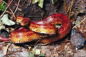 Cómo ayudar a su serpiente cuando está Arrojando