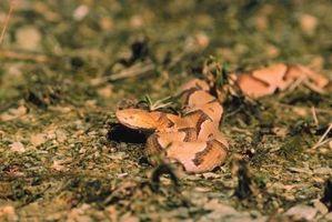 Las especies de serpientes del Sur de Georgia