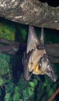 Murciélagos en la Amazonía