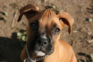 ¿Cuáles son los tratamientos para la sarna en los perros demodéctica?