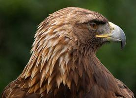 Los depredadores del águila real