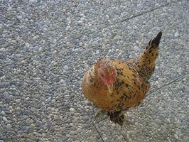 Cómo convertir una cubeta de cinco galones a un alimentador de pollo