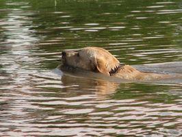 Cómo enseñar a un cachorro de labrador a nadar