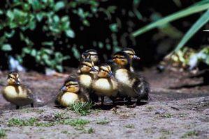 Cómo prevenir Hawks De Conseguir patos del bebé