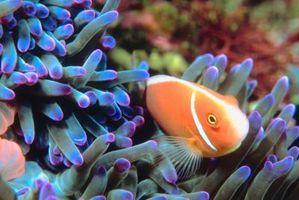 3 Las adaptaciones de los peces payaso