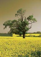 Explicación de la diferencia entre las semillas de mostaza amarilla y Negro