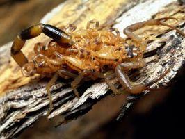 Datos interesantes sobre la corteza de escorpión